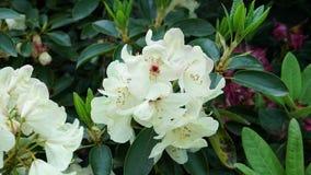Floraciones beige de la azalea en el jardín Imágenes de archivo libres de regalías