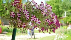 floraciones Blanco-rojas de la petunia en la estaci?n de verano en una maceta Primer Negocio de la flor Las flores hermosas flore