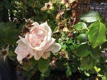 Floraciones color de rosa rosas claras en la vid Foto de archivo libre de regalías
