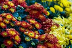 Floraciones coloridas de la flora del crisantemo Fotografía de archivo libre de regalías