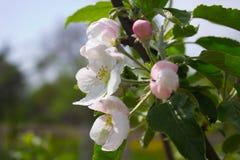 Floraciones de Apple Imagen de archivo libre de regalías