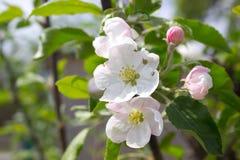 Floraciones de Apple Imagenes de archivo
