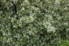Floraciones de Apple Foto de archivo libre de regalías