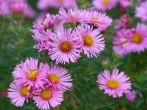 Floraciones de asteres rosados en otoño Imagenes de archivo