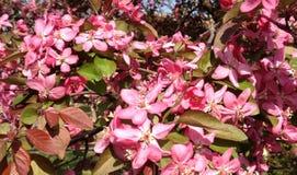Floraciones de Crabapple Fotografía de archivo