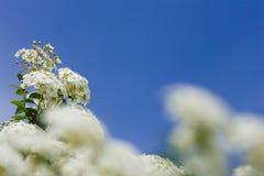 Floraciones de Crabapple Imagenes de archivo