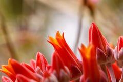 Floraciones de Dudleya Imagen de archivo libre de regalías