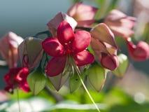 Floraciones de Fuschia Foto de archivo libre de regalías