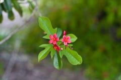 Floraciones de Jatropheae Fotografía de archivo