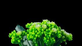 Floraciones de Kalanchoe, time lapse con el canal alfa almacen de metraje de vídeo