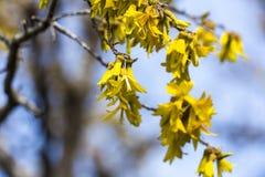 Floraciones de Kowhai Imagenes de archivo