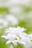 Floraciones de la aspérula imagen de archivo libre de regalías