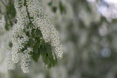 floraciones de la cereza de pájaro el jardín Fotos de archivo