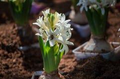 Floraciones de la flor del jacinto en el jardín Foto de archivo libre de regalías