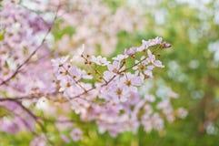Floraciones de la flor del loudonii del Lagerstroemia Imagen de archivo libre de regalías