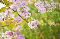 Floraciones de la flor del loudonii del Lagerstroemia Imágenes de archivo libres de regalías