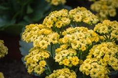 Floraciones de la flor de Kalanchoe en el parque público Imagen de archivo