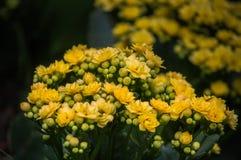 Floraciones de la flor de Kalanchoe en el parque público Imágenes de archivo libres de regalías