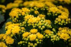 Floraciones de la flor de Kalanchoe en el parque público Imagen de archivo libre de regalías