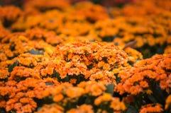 Floraciones de la flor de Kalanchoe en el parque público Fotos de archivo