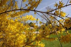Floraciones de la forsythia Fotografía de archivo libre de regalías