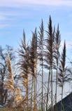 Floraciones de la hierba de pampa Fotos de archivo libres de regalías