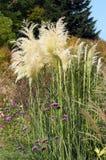 Floraciones de la hierba de pampa Fotos de archivo