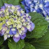 Floraciones de la hortensia - Hydrangeaceae Fotografía de archivo