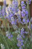 Floraciones de la lavanda y una abeja Fotografía de archivo