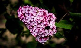 Floraciones de la lila Fotografía de archivo libre de regalías