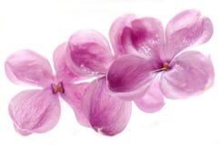 Floraciones de la lila foto de archivo