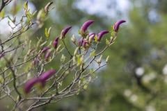 Floraciones de la magnolia en el jardín Imágenes de archivo libres de regalías