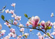Floraciones de la magnolia en primavera Imagen de archivo