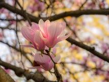 Floraciones de la magnolia en la primavera foto de archivo