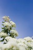 Floraciones de la manzana de cangrejo Foto de archivo