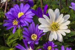 Floraciones de la margarita Foto de archivo