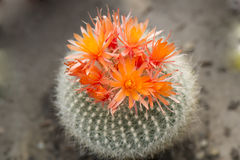 Floraciones de la naranja del cactus Foto de archivo libre de regalías