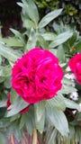 Floraciones de la peonía Imagen de archivo