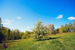 Floraciones de la pera del bosque en el claro del bosque Foto de archivo libre de regalías