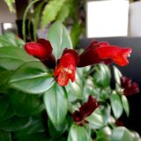 Floraciones de la planta de lápiz labial Imágenes de archivo libres de regalías