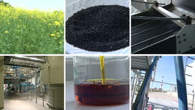 Floraciones de la planta Producción del combustible biológico del aceite de rabina Collage video metrajes