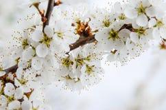 floraciones de la primavera Fotos de archivo
