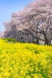 Floraciones de las flores de cerezo y de la rabina en el parque de Kumagaya Arakawa Ryokuchi imagenes de archivo