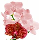 Floraciones de las orquídeas en rosa y magenta Imagen de archivo libre de regalías