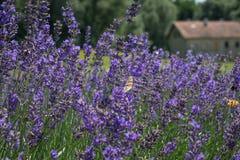 Floraciones de Lavander Imagen de archivo libre de regalías