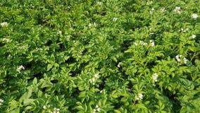 Floraciones de los arbustos de las patatas metrajes