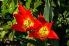 Floraciones de los tulipanes del fuego Imagenes de archivo