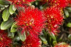 Floraciones de Pohutukawa fotos de archivo libres de regalías