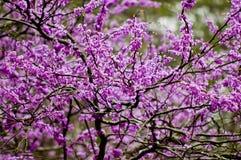 Floraciones de Redbud fotografía de archivo libre de regalías