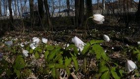 Floraciones de Snowdrop por el camino almacen de video